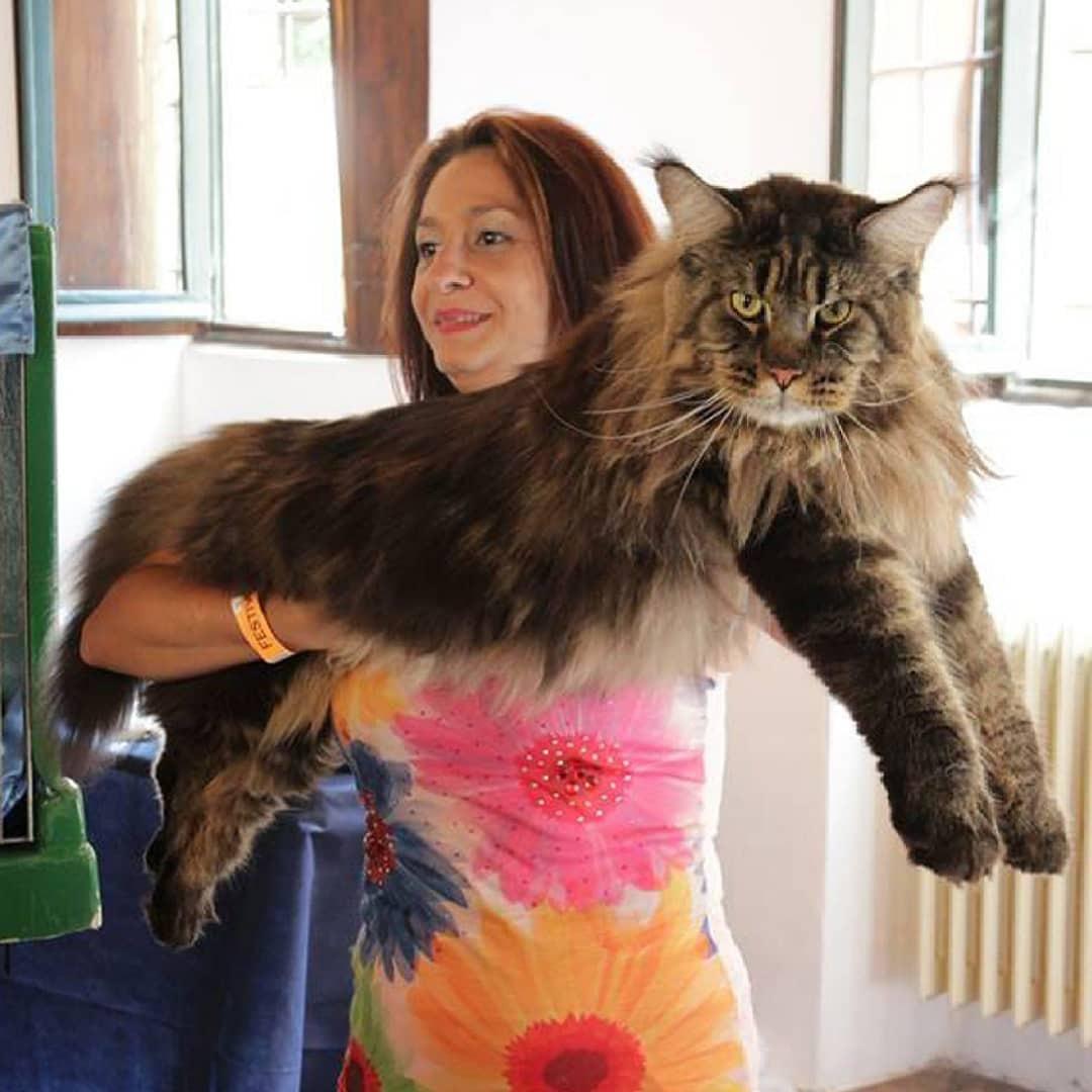 смотреть картинки самой большой кошки в мире