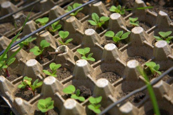 Секрет получения хорошего урожая редиса благодаря уникальному методу посадки огород