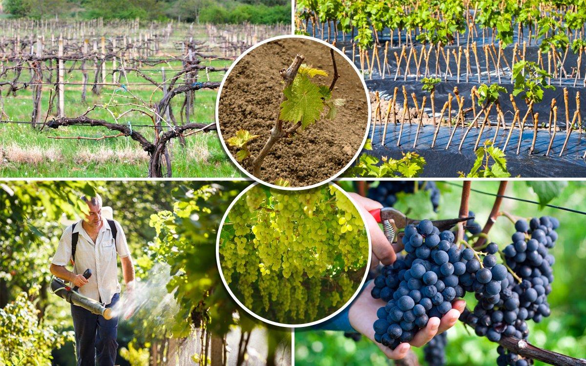 Осенний уход за виноградом - Сад и Виноградник