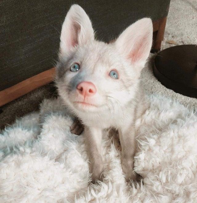 3. Белая лисичка животные, кошки, милота, мимими, смешные животные, собаки, фото