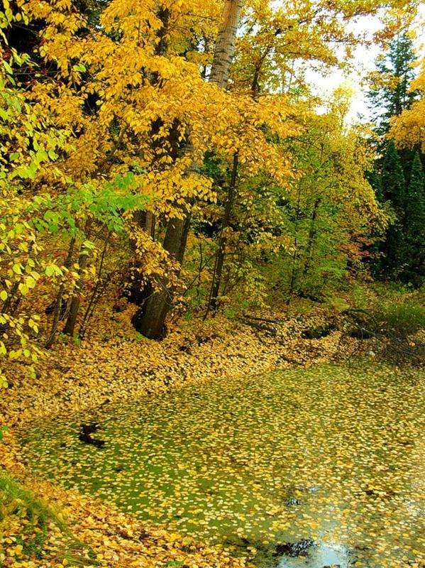 Засыпан пруд осеннею листвою (Теплякова Наталья)