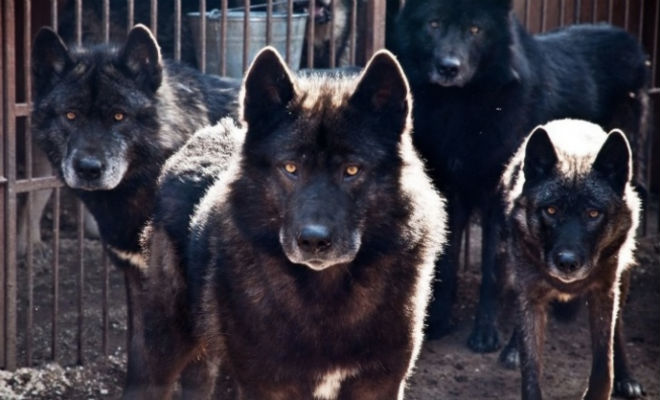 Собака с волчьим характером