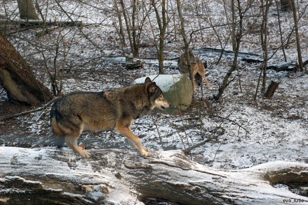 О мужчинах: волчонок недолюбленный