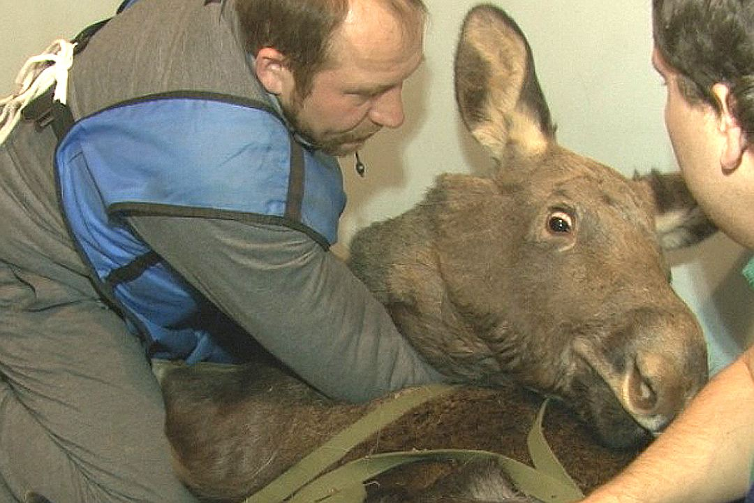 «Алло, ветеринарная клиника? Мы везём к вам нашу малышку!» В Кемерово отдыхающие спасли 150-килограммовую лосиху-подростка