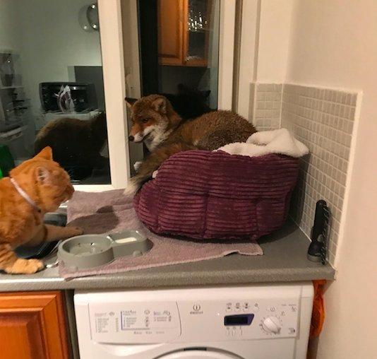 """""""Рыжий узурпатор"""" пробрался в квартиру и занял кошачью кровать. Кот в шоке, ЛИС в шоколаде!"""