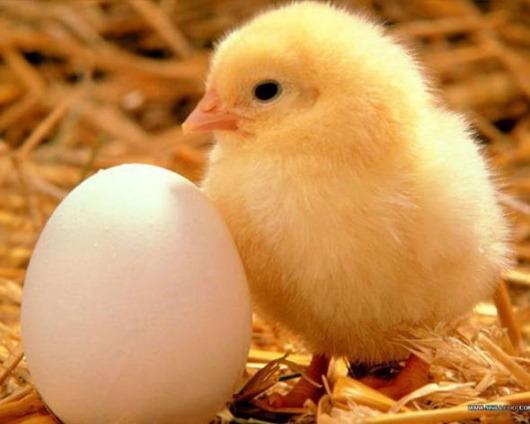 Что стоит за магазинными яйцами?