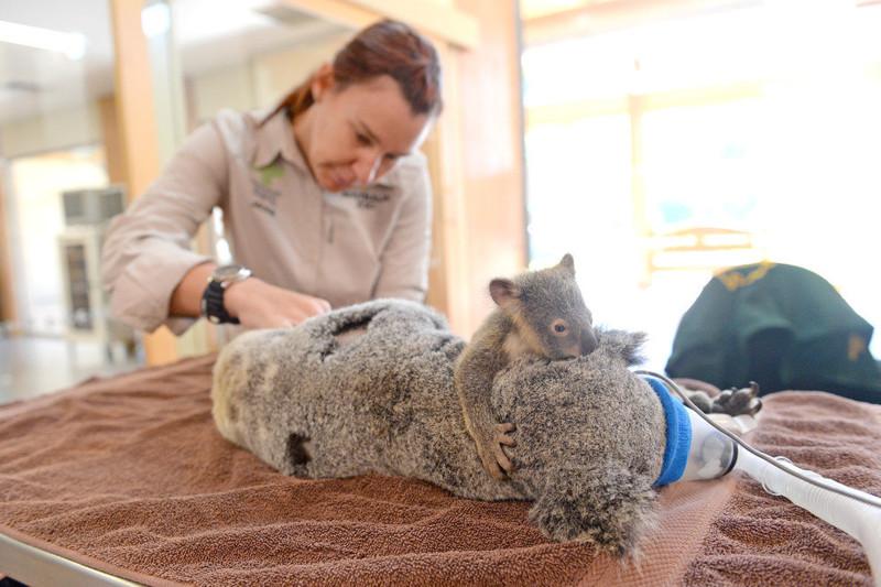 Малыш коала не отходил от матери во время операции