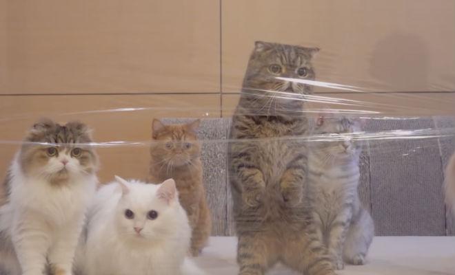 Коты пытаются пройти сквозь невидимую для них стену
