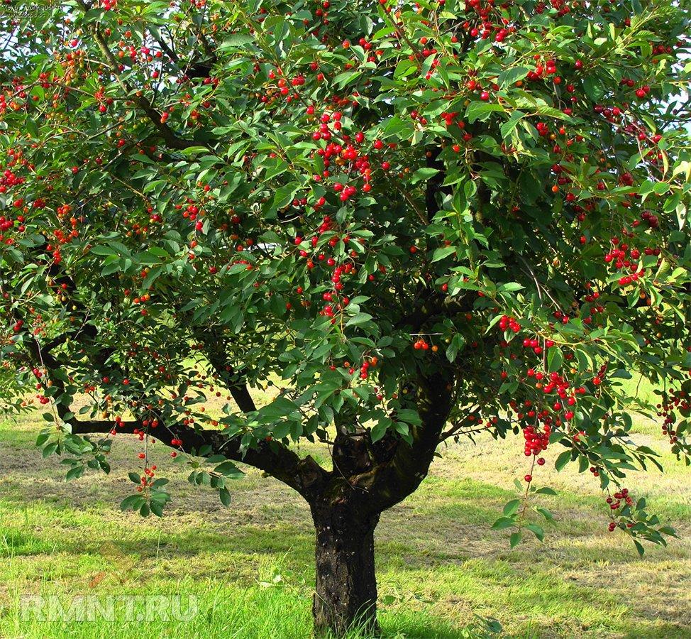 Тенистые деревья для вашего участка дача,сад и огород,садоводство
