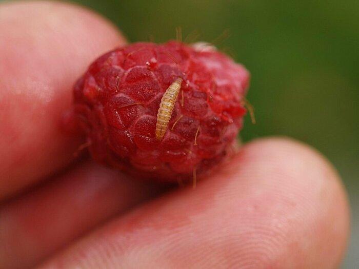 Как повысить урожайность малины: доступное средство из домашней аптечки дача,сад и огород,садоводство,удобрения