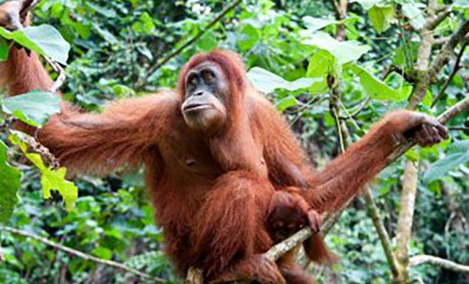 Мужчина упал в болото в джунглях: на помощь пришел орангутан и протянул руку Культура