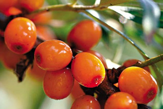 Облепиха – витамины круглый год.
