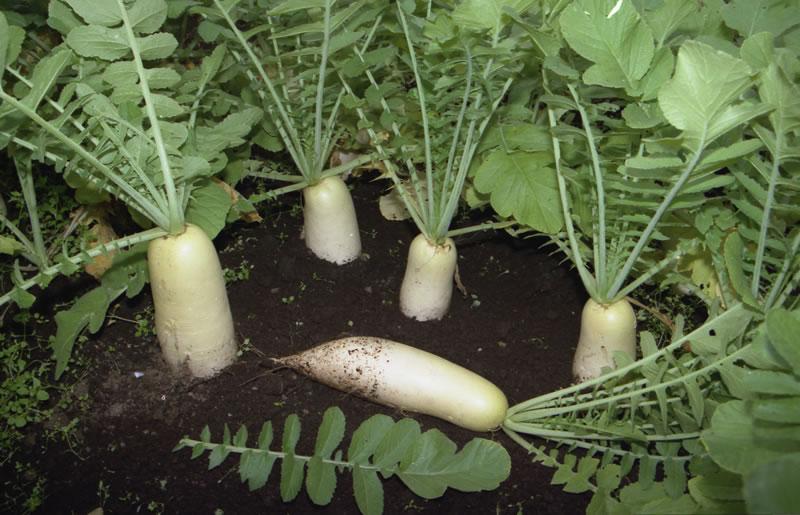 Высаживаем дайкон и подкармливаем растения