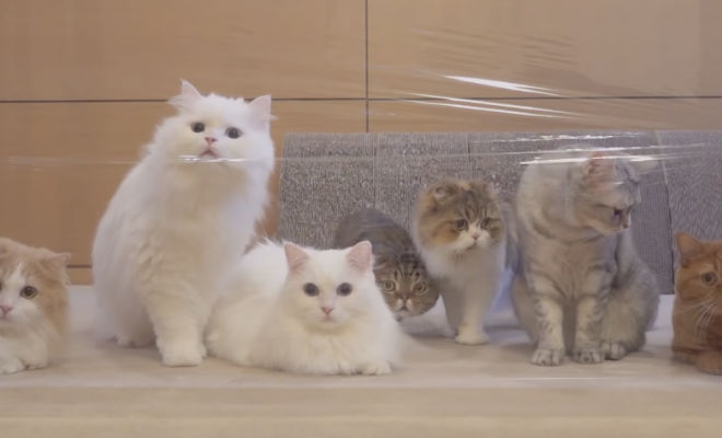 Коты проходят через стену из скотча