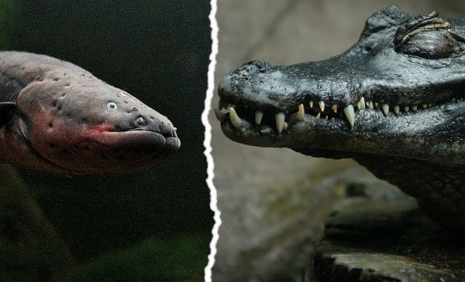 Крокодил осматривал владения и столкнулся с электрическим угрем животные