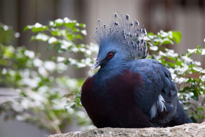 Как выглядит самый яркий родственник наших голубей