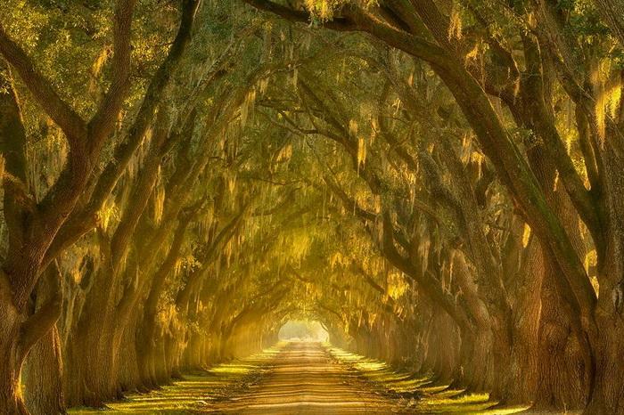 Тоннель деревьев. Штат Луизиана, США.