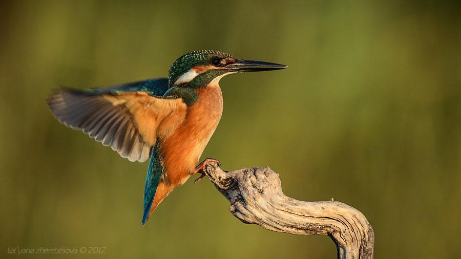 Потрясающая дикая природа озера Кызыл-яр в Крыму озера, удалось, озере, поснимать, можно, очень, снять, этого, озеро, птица, является, годов, Главное, достаточно, снимали, встретить, когда, сделать, которые, Кызыляр