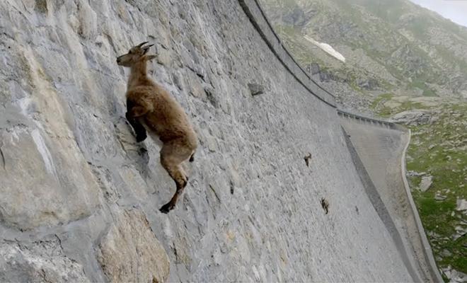 Горные козлы почти нарушили законы гравитации и поднимаются по отвесной стене на сотни метров