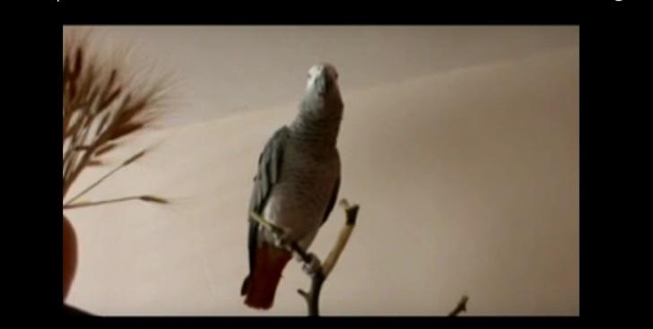 Этот попугай лучше взрослых …