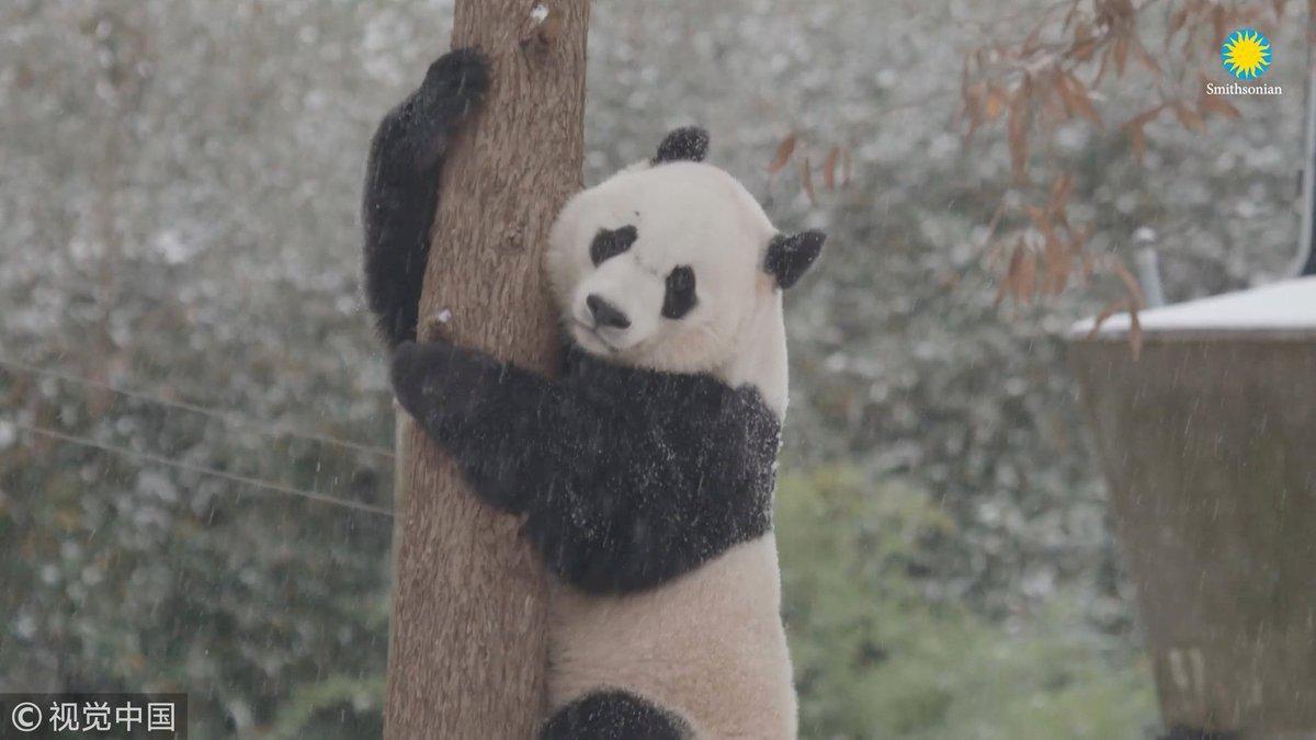 Безмятежная панда возрадовалась снегу
