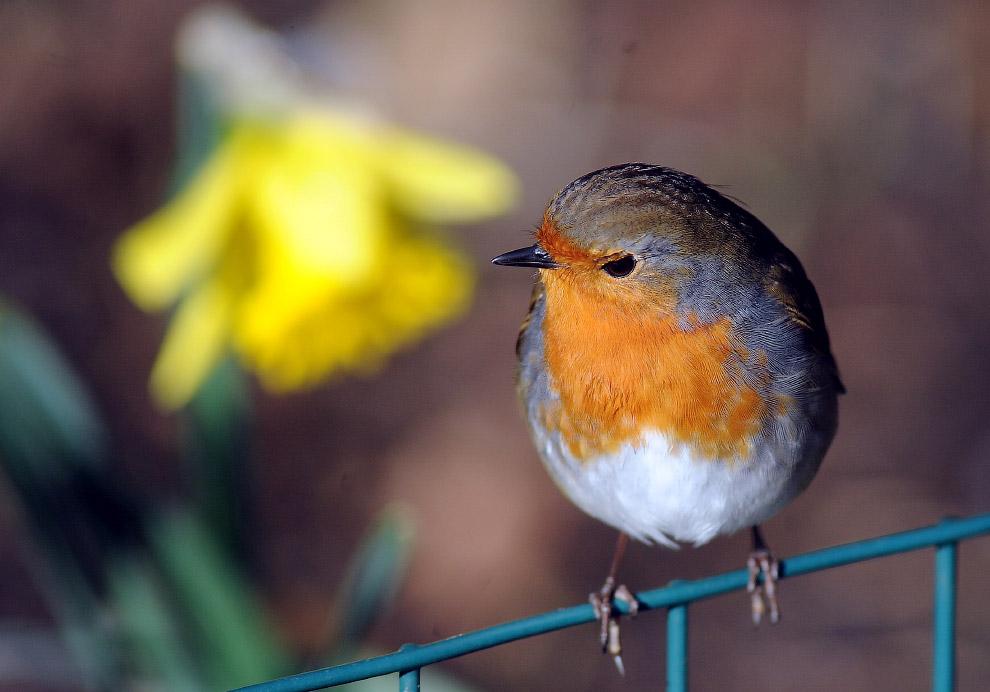 Малиновка — одна из самых любимых птиц британцев