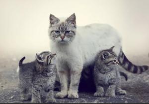 Материнская агрессия кошек