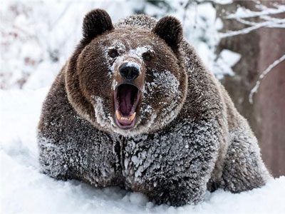 Медвежий жир - лечебные свойства и противопоказания
