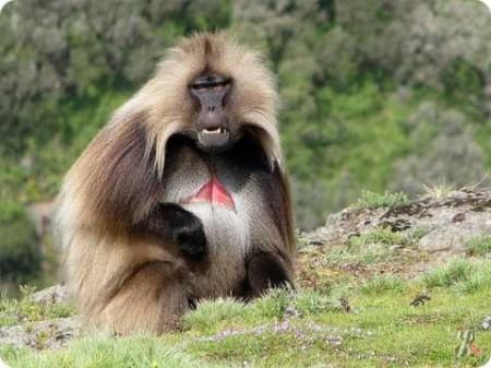 Альфа-самец. Приматы (2018)