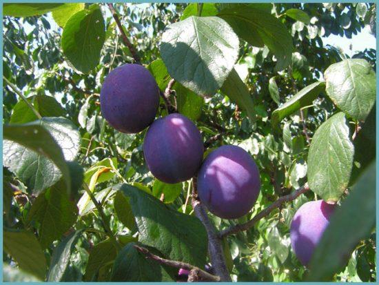 Как осуществляется обрезка сливы для увеличения плодоношения? видео