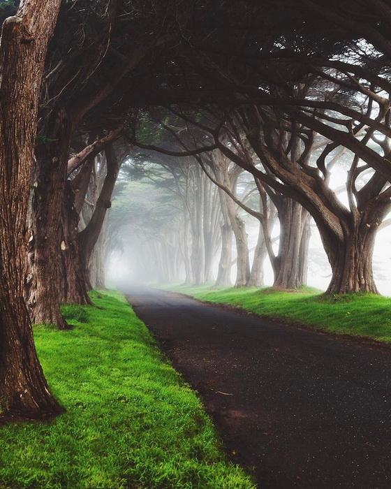 Тоннель из кипарисовых деревьев. Калифорния, США.
