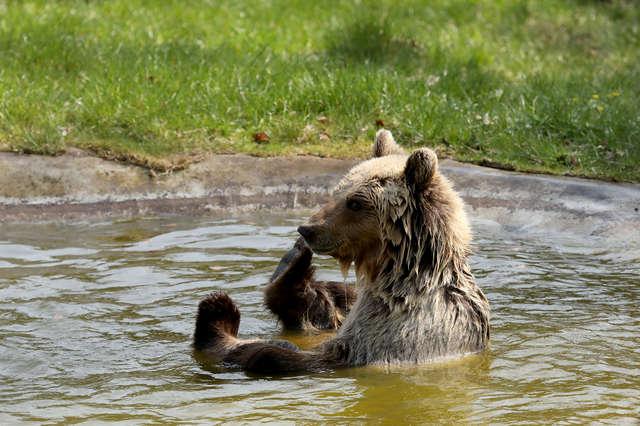 Почти всю жизнь она провела в клетке! А на свободе медведица радовалась скорой зиме…