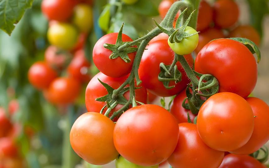 Настой чистотела от болезней помидоров