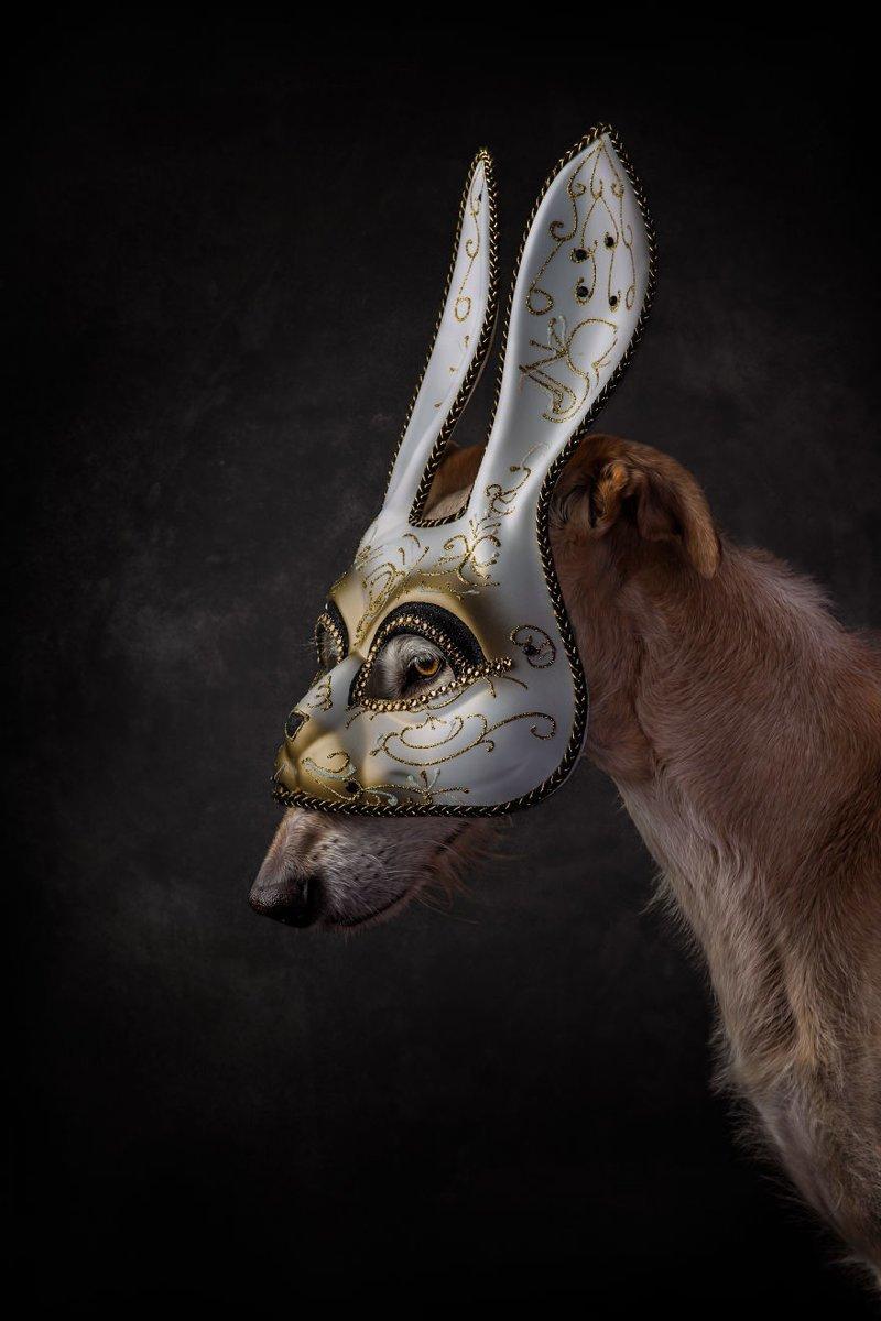 8. Порода, борзая, гальго, животные, испания, собака, спасение, фотография