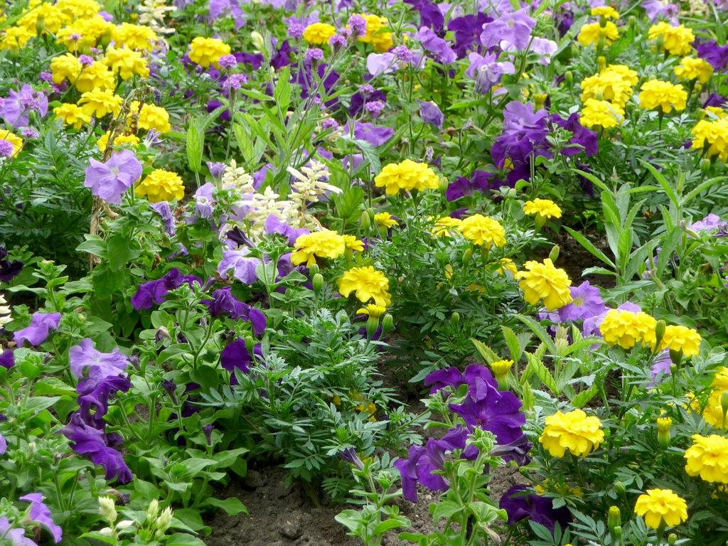 однолетние садовые цветы