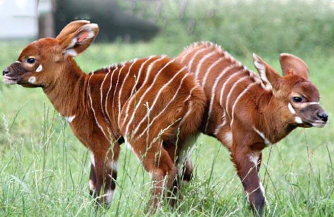 В сафари-парке Англии родились две редкие антилопы Бонго