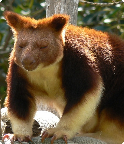 Древесные валлаби (древесных кенгуру)
