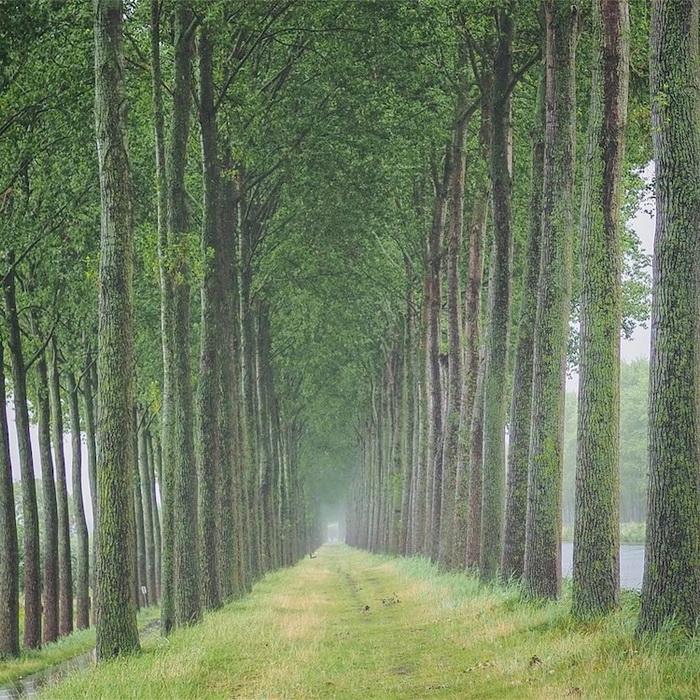 Тоннель из деревьев в Брюгге, Бельгия