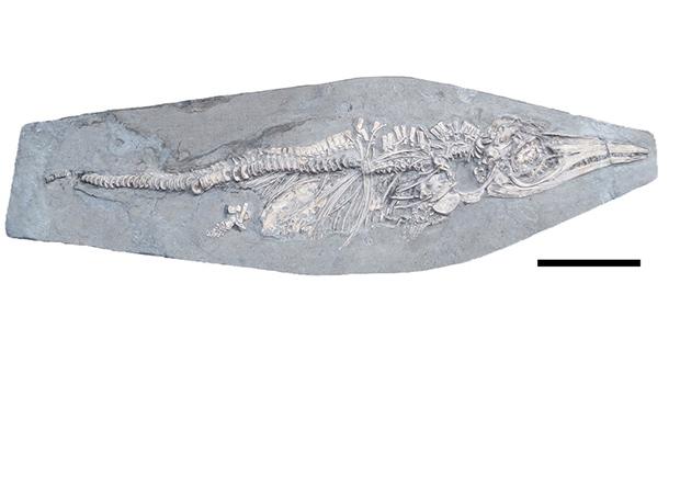 Доисторический кальмар стал последней трапезой юного ихтиозавра