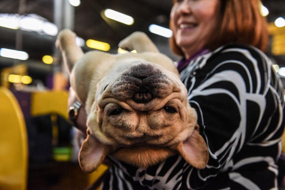 В США прошла знаменитая выставка собак Westminster Kennel Club 2020