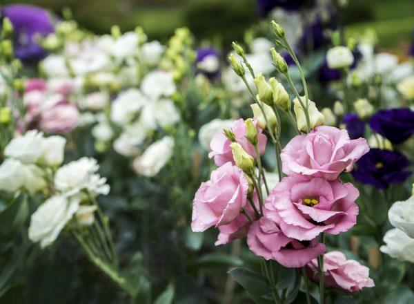 Один цветок — один букет. Как вырастить эустому дача,сад и огород,цветоводство