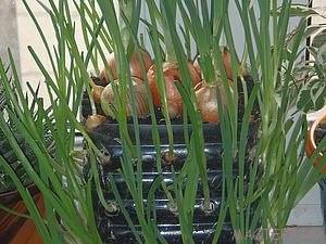 Зеленый лук зимой