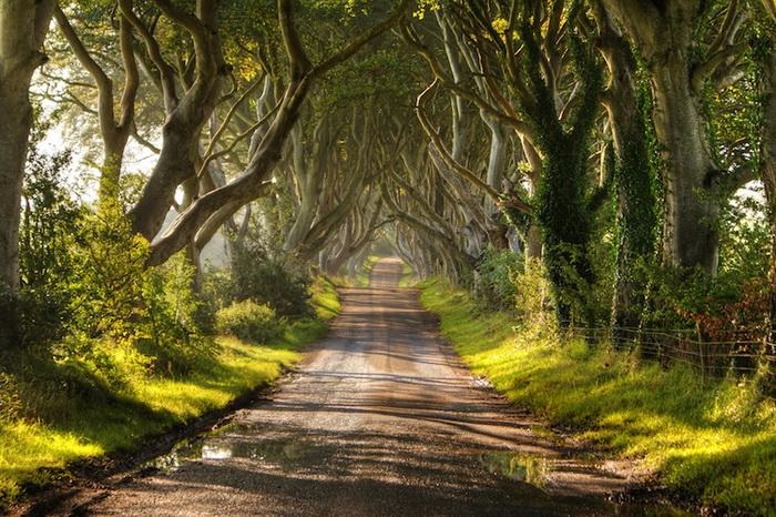 Буковая аллея Дарк Хеджес в ирландском парке Антрим.