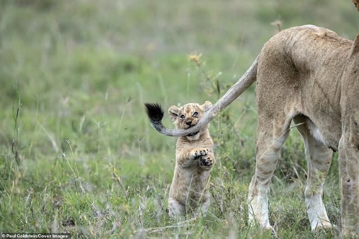 Укуси льва за хвост. Позитивные фотографии из заповедника в Кении