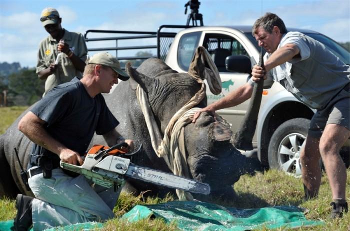 Cрезают рога носорогам, чтоб…