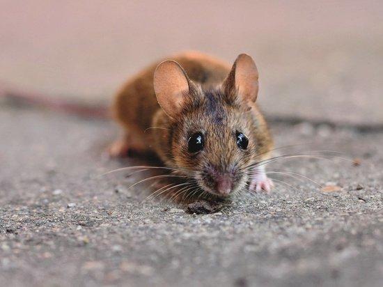В России создали генно-модифицированных мышей для заражения коронавирусом