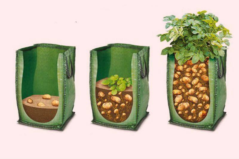 Рост картофеля в мешках