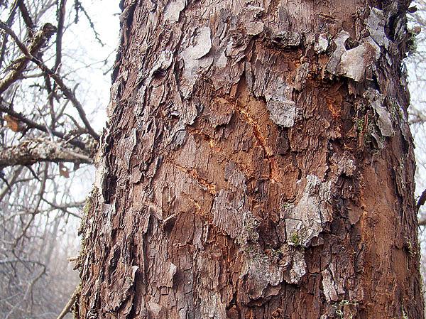 недорого царапины на дереве от когтей медведя фото компактные