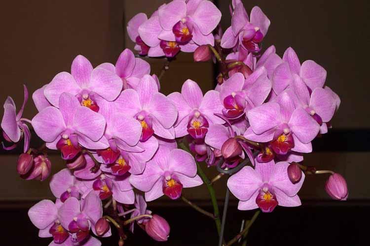 цветок архидея