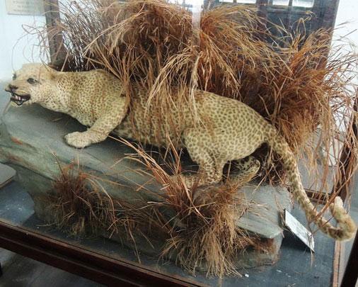 Занзибарский леопард вымерли, животные, топ10